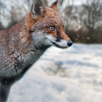 Fox Photograph Tenbury Wells Worcestershire