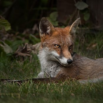 Fox Photograph Tenbury Wells
