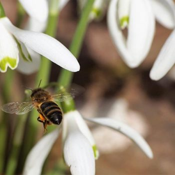 Snowdrops and bee